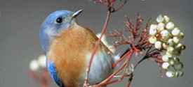 Attracting Bluebirds